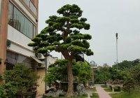 10 loài cây hay trồng trong vườn biệt thự